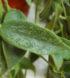 hoya-thomsonii-2