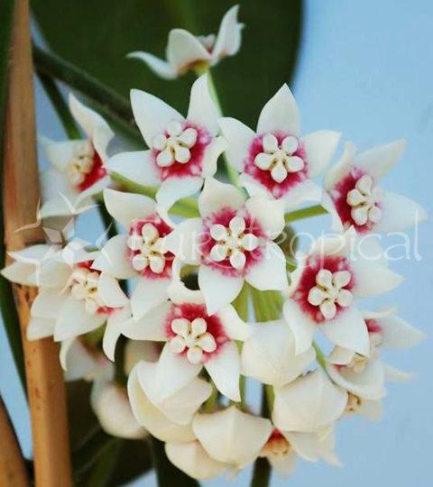 hoya-calycina-flor-1