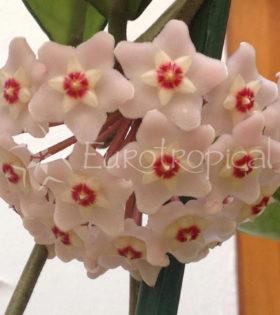 hoya-carnosa-big-flowers-1