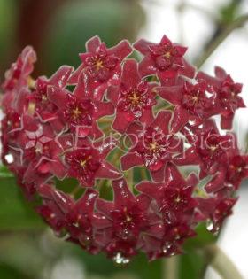 hoya-cinamomifolia-var-purpureofusca-1