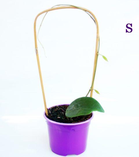 hoya-cinamomifolia-var-purpureofusca-2