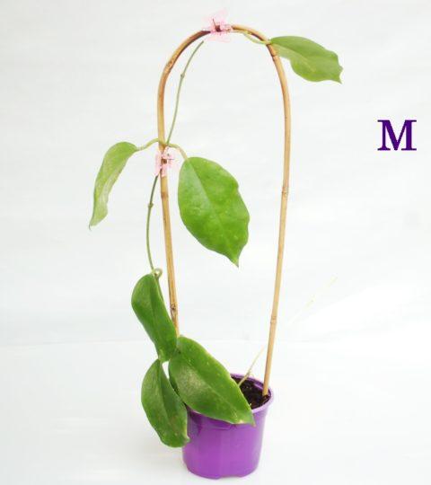 hoya-crassicaulis-2