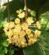hoya-vitellinoides-2