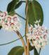 hoya-calycina-flor-2