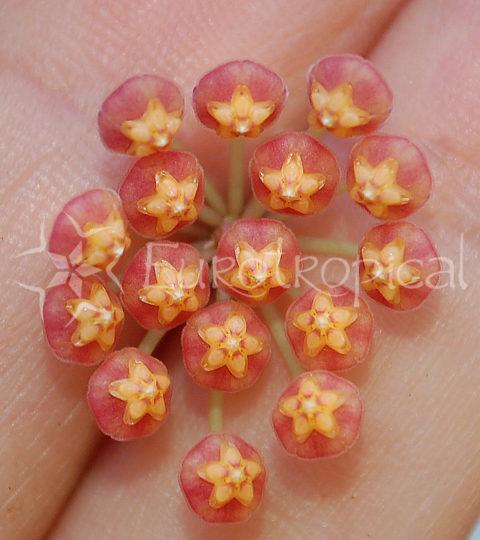 panchoi flor web cm