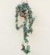 Hoya compacta variegata cm