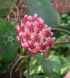 Flor crassipes cm