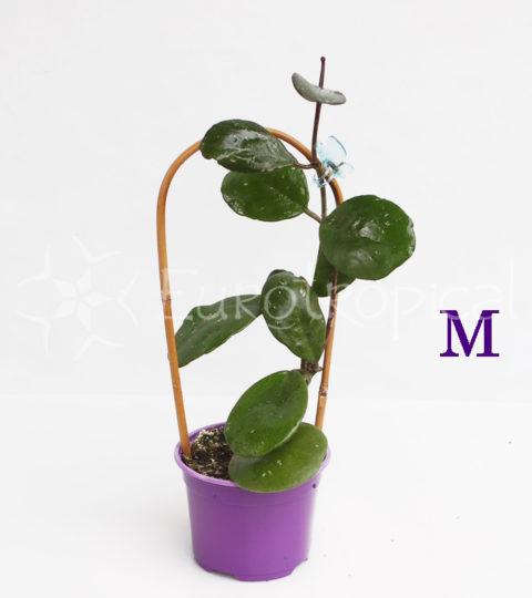 obovata M cm