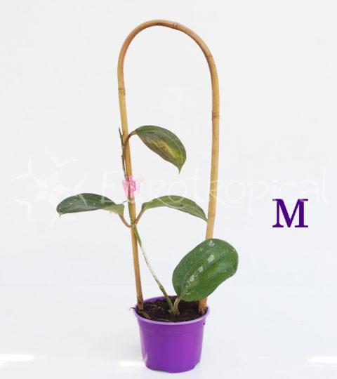 fischeriana M web cm