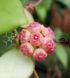 Hoya heuschkeliana pink 1
