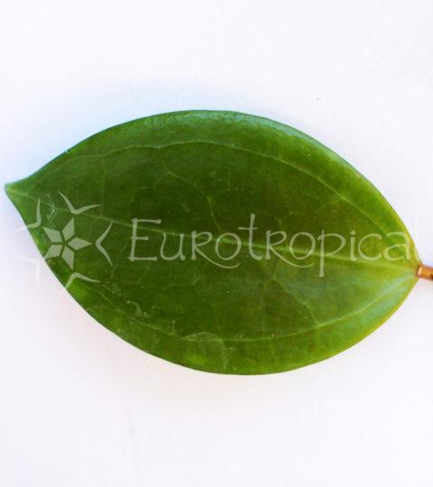 Hoya dolichosparte 2 cm