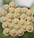 parviflora web cm