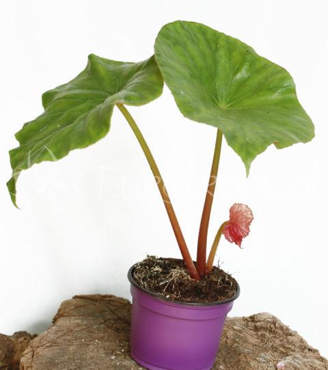 nelumbifolia