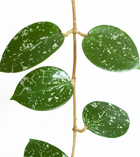parasitica laos 1