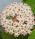 parasitica laos flor