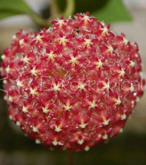 elmerii flor