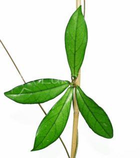 hainanensis hojas