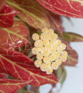 sunrise flor web