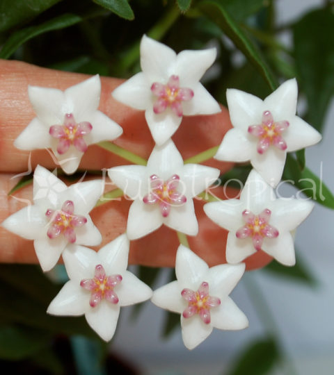 bella flor web
