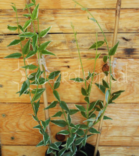 bella variegata