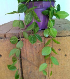 dischidia ovata planta