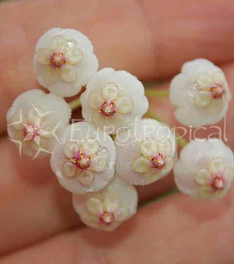 rotundiflora flor 1