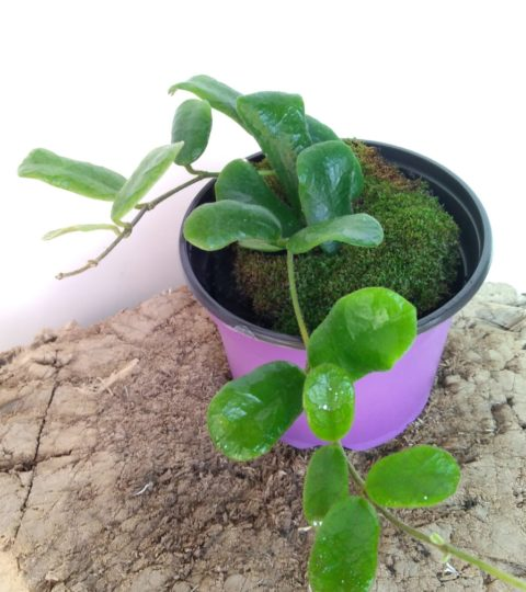rotundifolia planta 1