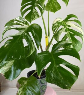 monstera variegata 18