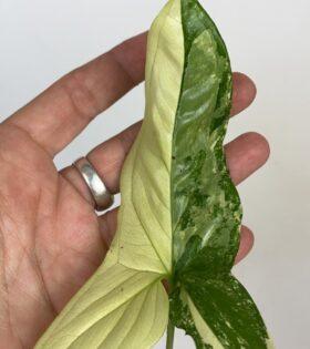 syngonium variegata 27 hoja