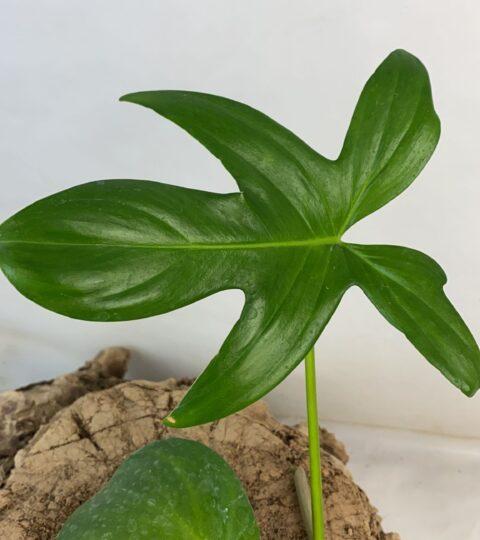 laciniatum  leaf
