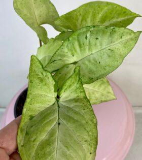 syngonium freckless 1