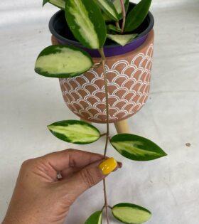 acuta variegata verticillata yellow