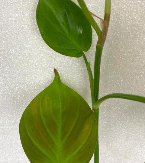 philodendron camposportoanum juvenile leaves